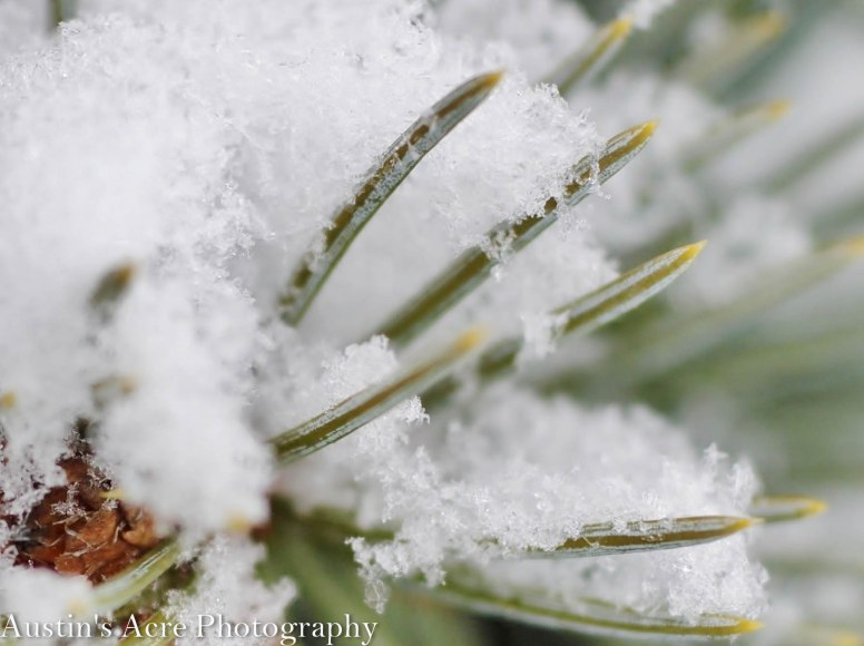 Delicate flakes rest on the tips of the individual needles.