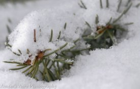 Delicate needles poke up through a bed of snow.