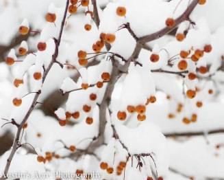 A closer view of the snow piled high on each berry and branch.