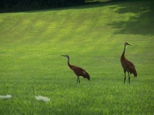 Sandhill cranes at Webster