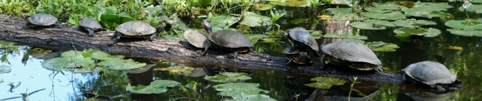 Turtles line up in the sun, trying to warm themselves in the picture-perfect day.