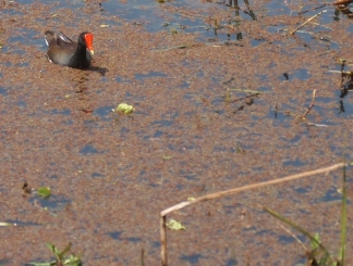 Moorhen Morning