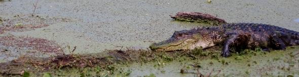 Close up Gator