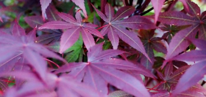 Japanese Maple Acer palmatum var. atropurpureum 'Bloodgood'